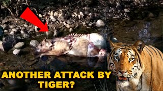 Another Attack On Cow By Tiger At Sattari? Will The Govt Act This Time ?