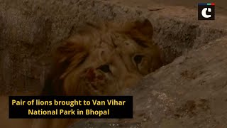 Pair of lions brought to Van Vihar National Park in Bhopal