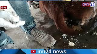 'बाल गोपाल गौ सेवा समिति' कोरबा द्वारा घुमंतु आवारा पशुओं की उपचार की व्यवस्थाओं के लिए किया जा रहा