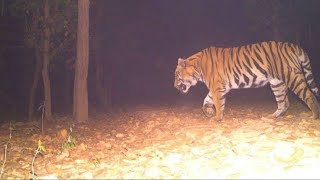 Finally Wild TIGER Caught On Camera ????