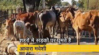 #रायसेन के बाद में आवारा मवेशियों से अन्नदाता परेशान कांग्रेस सरकार में किसानों की नहीं हो रही ,,,,,