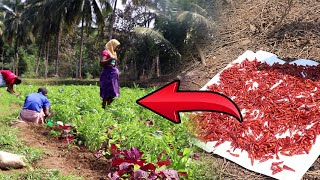 Proud Moment For Canacona's Farmers:  Khola chilli now gets GI tag