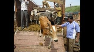 Raja Singh Stopped 100 Bulls Truck  in Hyderabad