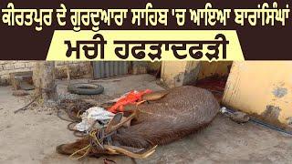 Kiratpur Sahib के गुरुद्वारा साहिब के पास बारहसिंगा ने मचाया कोहराम