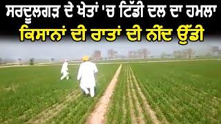 Sardulgarh के खेतों में टिड्डी दल का हमला, किसानों की नींद उड़ी