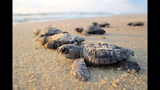 70 turtle hatchlings released into sea
