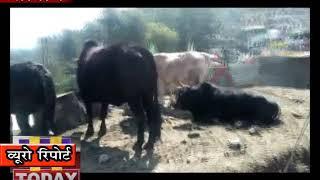 27 FEB N 10 सोलन शहर के आस पास के गाँव आवारा पशुओं से बेहद परेशान