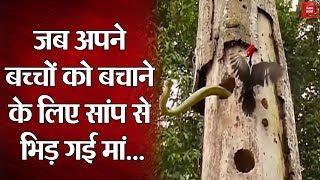 Birds vs Snake : Woodpecker के बच्चों पर Snake ने किया हमला, मां का पलटवार देख हैरान रह गए लोग