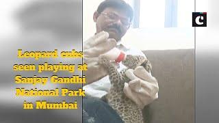 Leopard cubs seen playing at Sanjay Gandhi National Park in Mumbai