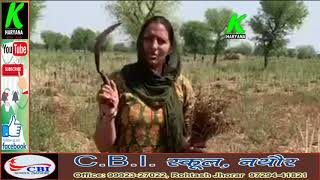 राजस्थान के सादुलपुर से विधायक कृष्णा पूनियां ने चने काटते हुए किसानों को दिया संदेश l k haryana l