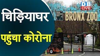 चिड़ियाघर पहुंचा कोरोना | Bronx Zoo Tiger Tests Positive For COVID-19 |  #DBLIVE