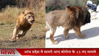 सड़कों पर घूम रहा था शेर , लेकिन सच्चाई कुछ और ही थी
