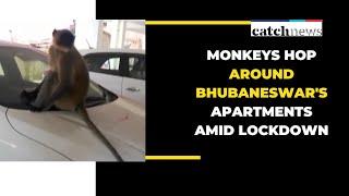 Monkeys Hop Around Bhubaneswar's Apartments Amid Lockdown | Odisha News | Catch news