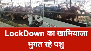 भूखमरी का शिकार हो रही गौशाला में बंद गाय, संकट में जीवन