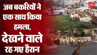 Lockdown: जब बकरियों के झुंड  ने बोला हमला, सोशल मीडिया पर वायरल हुआ वीडियो