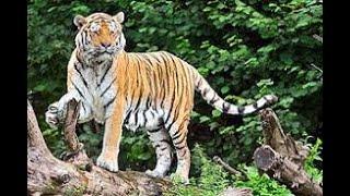 BAHRAICH : वन विभाग ने बाघ को समझा चूहा, बिछाए बैठा जाल