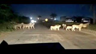 देखिये आखिर क्यों भाग रहे है सारे Lions, विश्वास नही होगा - Lions Running Away In Gir Forest Gujarat