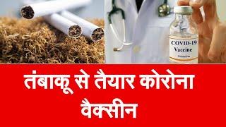 तंबाकू की कोरोना वैक्सीन का प्री क्लीनिकल ट्रायल सफल, इम्यून सिस्टम पर असरदार