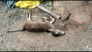 WATCH: Sleepless nights for Parcem villagers after a calf got killed by an unknown predator