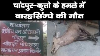 चांदपुर—कुत्तो के हमले में बारहसिंग्घे की मौत