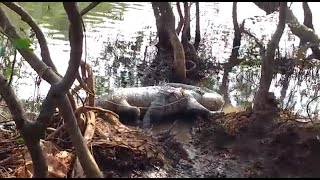 WATCH: Crocodile killed in Colvale?
