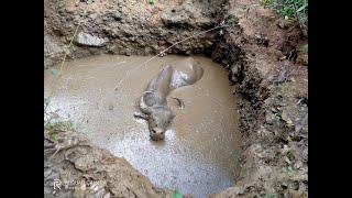 WATCH: Gaur falls inside pit, rescued at Sattari