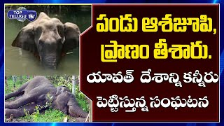 Elephant Who Ate Firecracker-Filled Pineapple Walked For Days In Pain | Top Telugu TV
