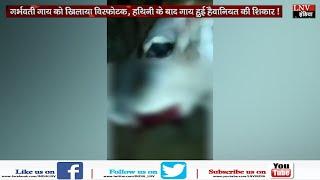 गर्भवती गाय को खिलाया विस्फोटक, हथिनी के बाद गाय हुई हैवानियत की शिकार !