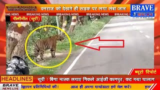 पीलीभीत के माधोटांडा रोड पर माला जंगल से निकला टाइगर, वीडियो वायरल | BRAVE NEWS LIVE