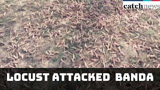 Swarms Of Locust Attacked Uttar Pradesh's Banda | Latest News In English | Catch News