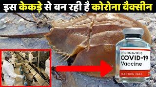 इस दुर्लभ प्रजाति के केकड़े से बन रही Corona Vaccine, लेकिन इसका क्यों हो रहा विरोध | Horseshoe Crab