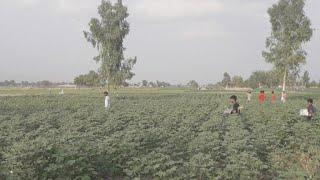 सिरसा के खेतों पर Tiddi का हमला, #LIVE