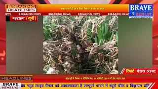 बहराइच में टिड्डी दल का आतंक, किसानों में दहशत का माहौल | BRAVE NEWS LIVE