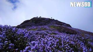 Neelakurinji Blooming, Munnar, Idukki