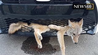 Alberta Coyote Is Alive And Well After Being Struck And Then Stuck In Car Grille