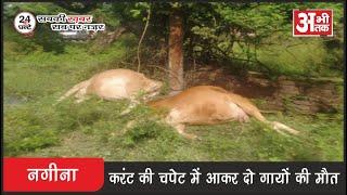 नगीना—करंट की चपेट में आकर 2 गायो की मौत