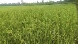 Paddy field in Assam