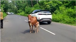 Accidents continue on Goan roads due to stray cattle