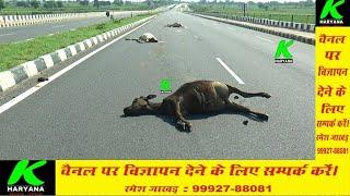 सिरसा के रेलवे बाईपास पर 4 गायें मिली मृत, कैसे हुई एक साथ 4 गायों की मौत, पुलिस जांच में जुटी