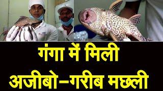 गंगा नदी में मिली सकरमाउथ कैटफिश मछली, वैज्ञानिकों को सता रहा ये बड़ा डर