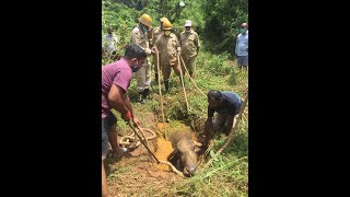 Buffalo rescued from a ditch at Kavlem by locals with the help from fire brigade