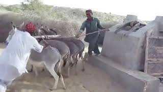 रेगिस्तान मे कई फुट गहरे कुंए से पानी निकालते गधे l @ATV News Channel HD