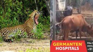 Leopard Seen Again At Rajendarnagar | Leopard Ne Li Ek Janwar Ki Jaan | @Sach News