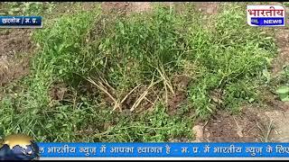 खरगोन जिले के ईदारतपुर छालपा मे घटीया स्तर का मिर्च बिज बोने से कई किसानों की मिर्च फसल बर्बाद। #bn