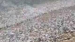 ভূমিকম্পত সাগৰৰ মাছ মৰা দৃশ্য