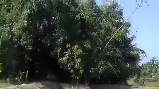 তেজপুৰৰ বৰগুৰি নপামত বাঘে মানুহ আক্ৰমণ কৰা ভয়ংকৰ দৃশ্য