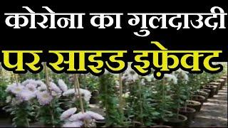 Jaipur News | गुलदाउदी गुलजार, लेकिन नहीं सजेगा बाजार,कोरोना का गुलदाउदी पर साइड इफ़ेक्ट | JAN TV