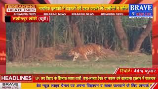 लखीमपुर खीरी: एक बार फिर लौटने लगी #Tiger की दहशत, बकरी लेकर जंगल में भागा #Tiger, सांड पर बोला हमला