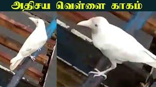 """Chennai-யில் அதிசய வெள்ளை காகம்"" - ஆச்சர்யத்தில் மக்கள்    White crow in Chennai"