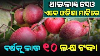Thai Kashmir Apple Ber Complete Farming Process in Odisha | A Success Story | Satya Bhanja